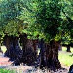 Canvas 0271 80×110 olive trees